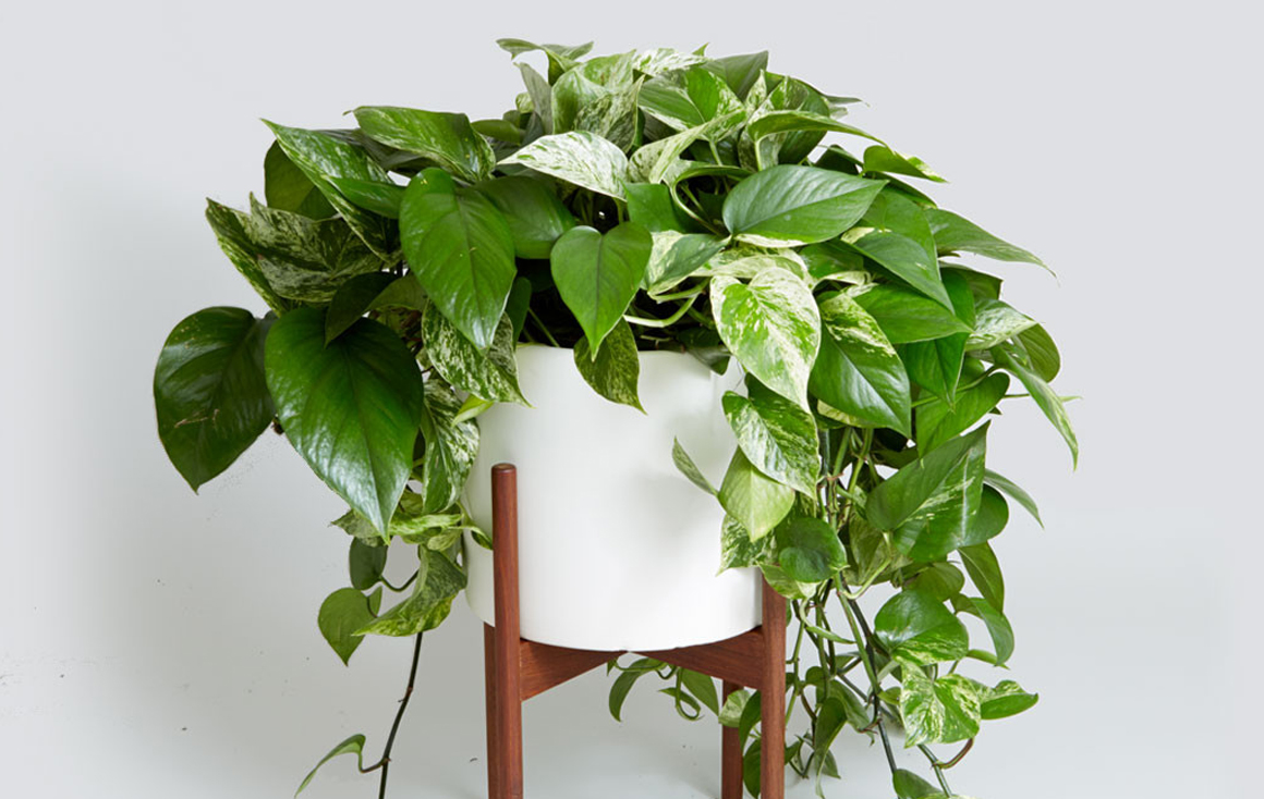 8 super cute indoor plants to buy right now gold coast for Low water indoor plants